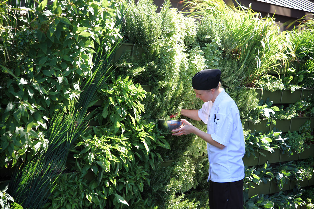 Herbs and vegetables growing in green wall