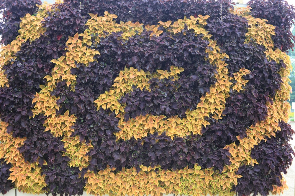 Entrancing living wall - a swirl of orange and dark purple coleus