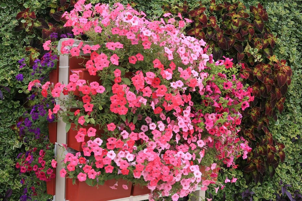 Pink Petunias in LiveScreen system