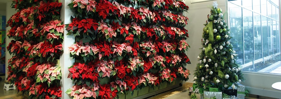 green wall with poinsettias