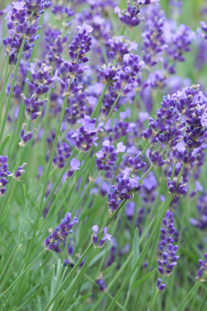 Lavender is one of many fragrant plants that can grow in a living wall.