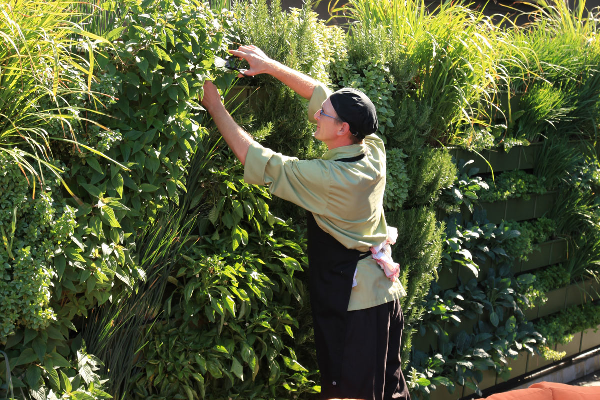 Chef harvests herbs from wall garden for use in restaurant.