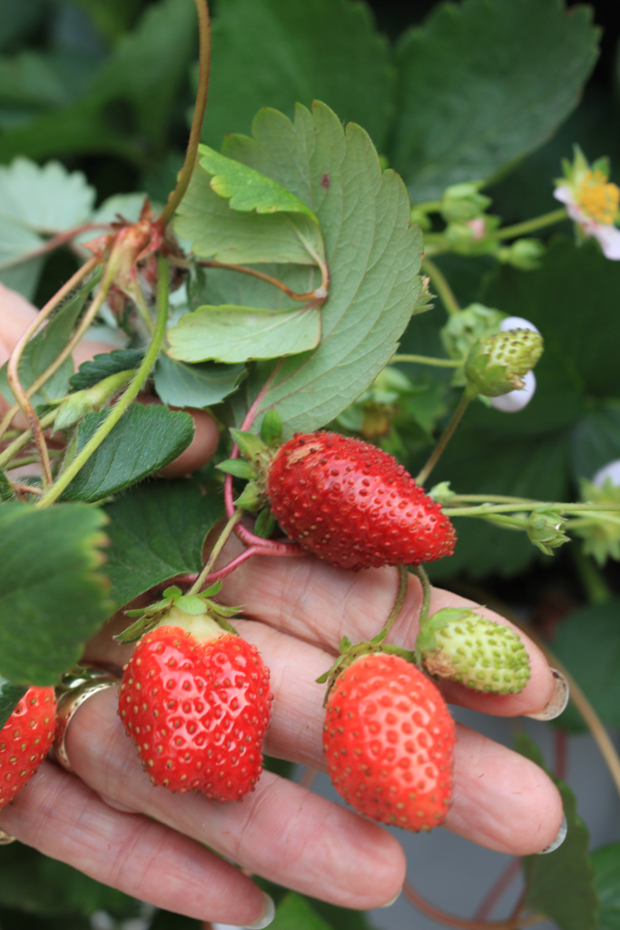 Ever-bearing strawberries make a delicious living wall fruit.