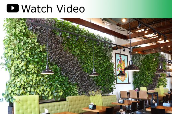 A video featuring the two LiveWall living green walls at Brome Modern Eatery in Dearborn, MI.