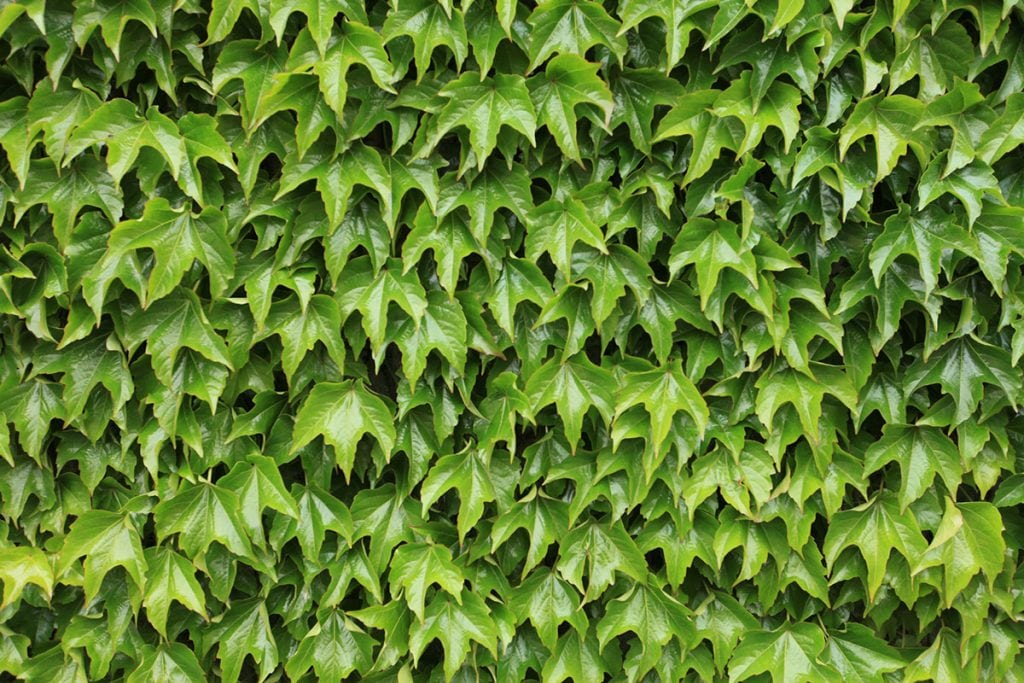 A wall of Boston Ivy.