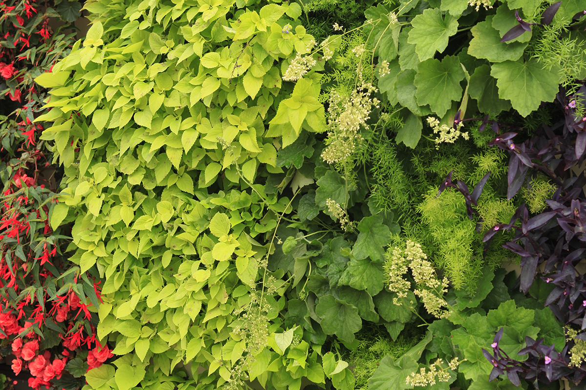 Green wall plants, combination of annuals and perennials including red flower begonia, red and green coleus cultivars, Autumn Bride coral bells, and purple heart.