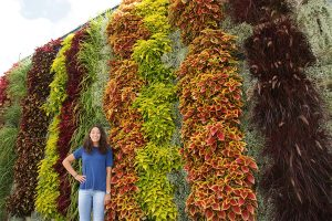 Vertical Garden Stripes of Coleus, Fountain Grass, Silver Star Licorice Plant, and Euphorbia