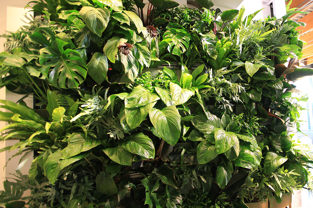 Monstera deliciosa, Asplenium nidus, Philodendron 'Lickity Split', Philodendron 'Rojo Congo' and Tacca chantieri combine for a dramatic billowing green wall planting.