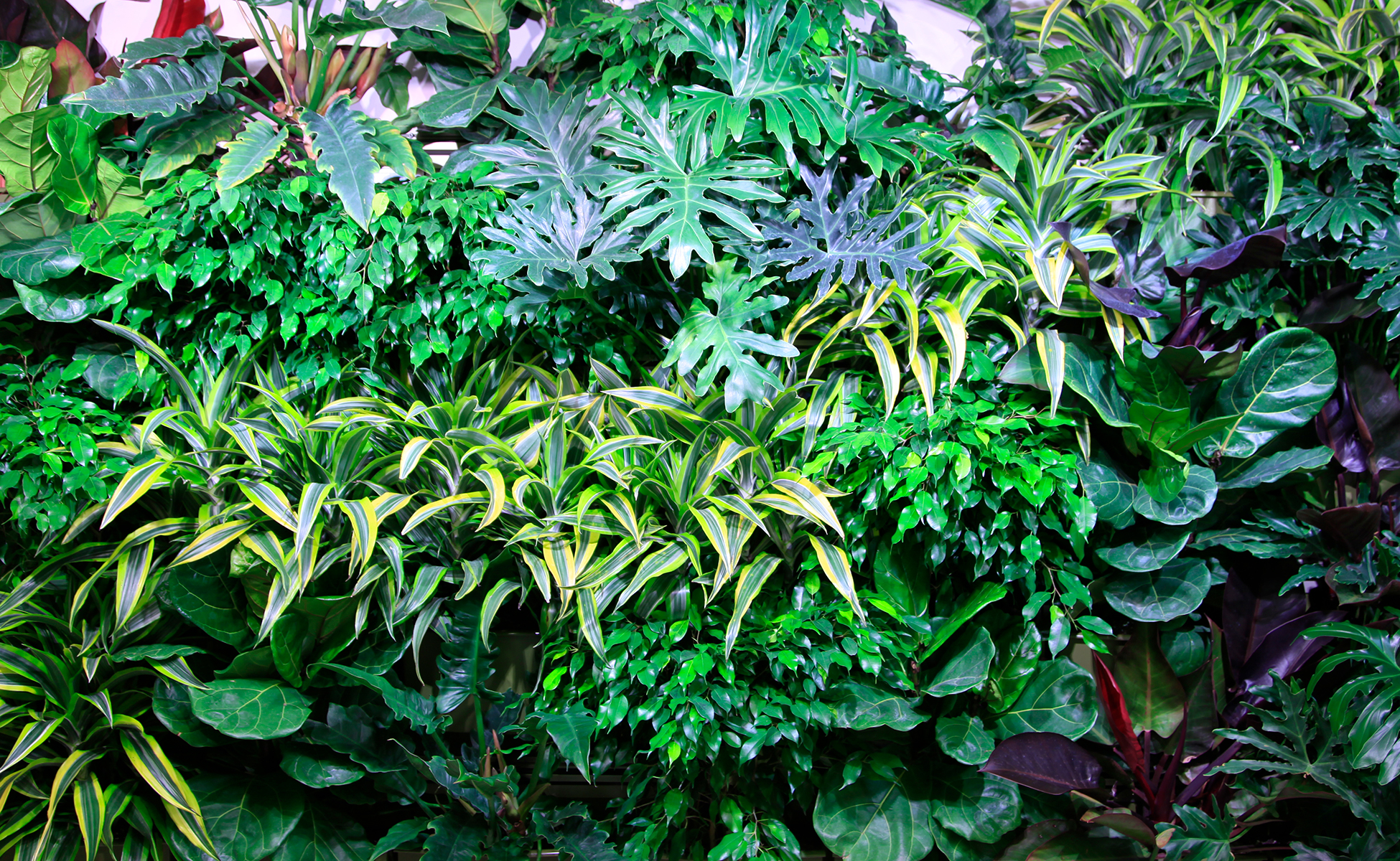 Tropical plants are suited to tropical climates and are used in most indoor living wall applications.
