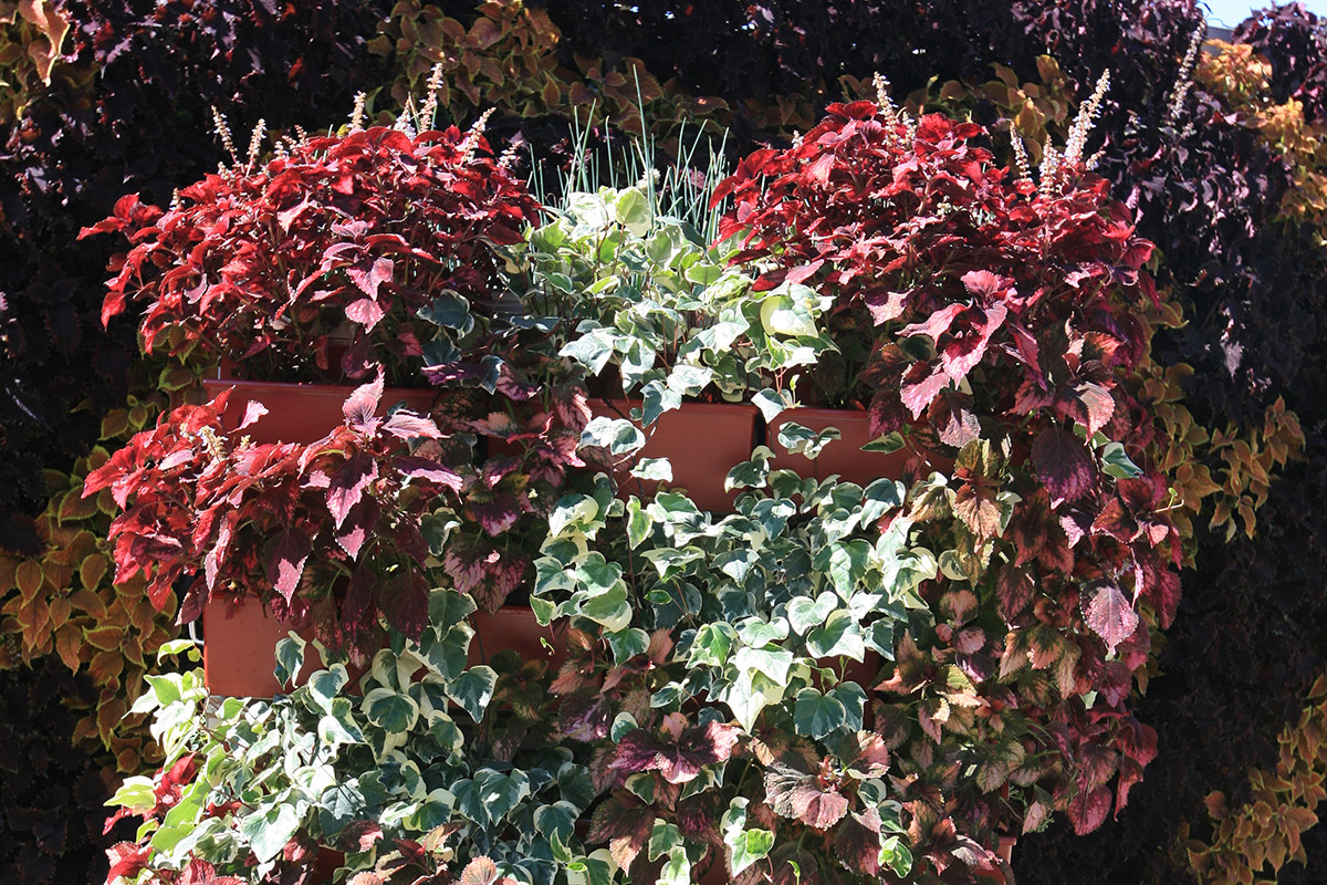 LiveScreen XL planted with Algerian Ivy and Coleus