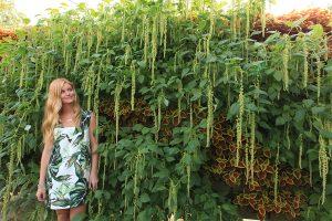 Raining Amaranthus in Vertical Garden