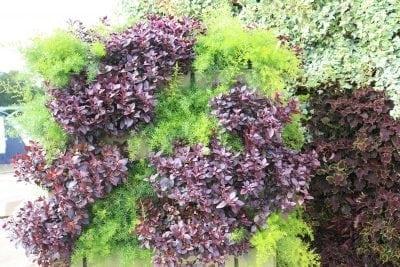 Asparagus densiflorus 'sprengeri' and Alternanthera dentata 'Little Ruby' in Vertical Garden planting