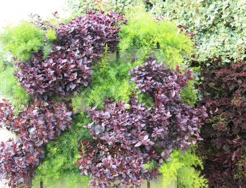 Vertical Garden of Alternanthera dentata 'Little Ruby' and Asparagus densiflorus 'sprengeri'
