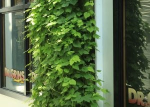 The B.O.B. uses a living wall to grow hops.