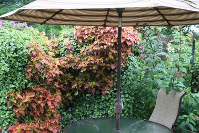 Patio privacy and comfort created with mixed planting of coleus and variegated trailing deadnettle.
