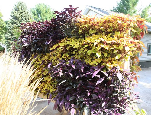 Colorful Coleus – Various LiveScreen Plantings