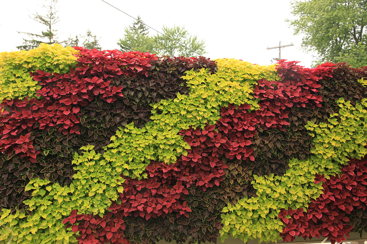 Gree, Red, and Purple Coleus planted in waves.