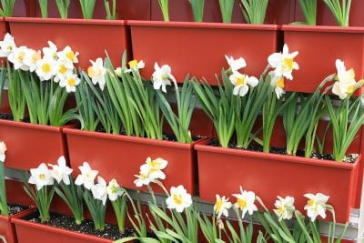 Daffodils planted in window-box style vertical garden planters.