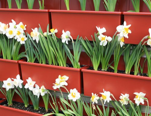 Daffodils in Vertical Garden Planter