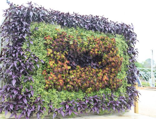 Tunnel-Shaped Wall Planting of Strobilanthes, Plectranthus and Coleus