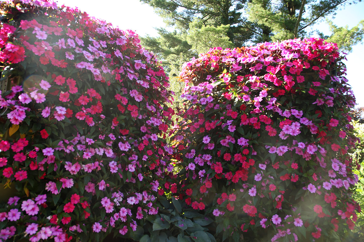 LiveScreens with luscious Impatiens.