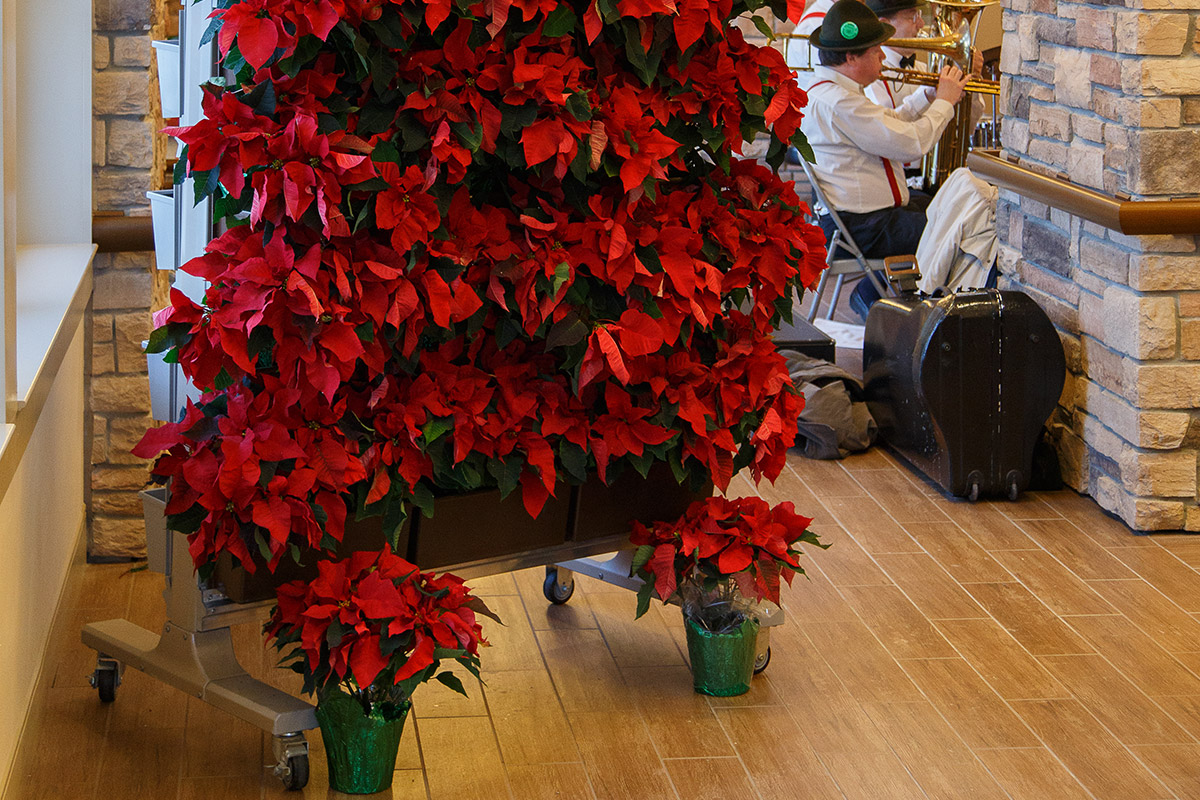 Poinsettias grow well in the LiveScreen system.