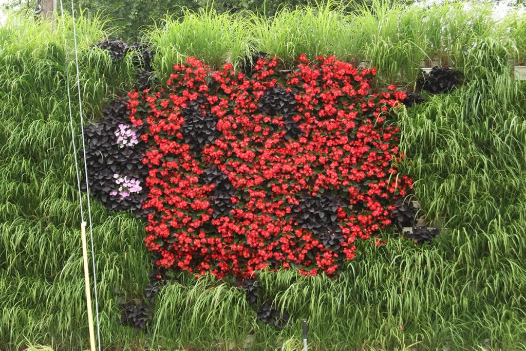 LiveWall Planted in a Ladybug Pattern of Colus and Begonia Surrounded by Lemongrass