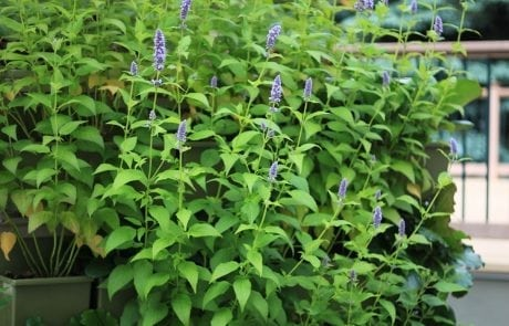 Anise Hyssop Green Wall · Plant Trials