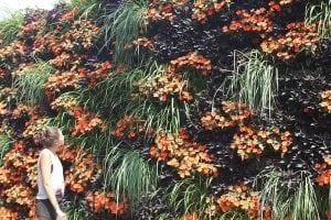 Halloween Colored Living Wall (Orange Sunpatiens, Black Sweet Potato, and Lemon Grass)