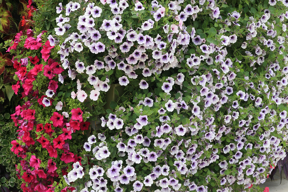 Wave petunias make a low maintenance and high impact floral display in a planted wall.