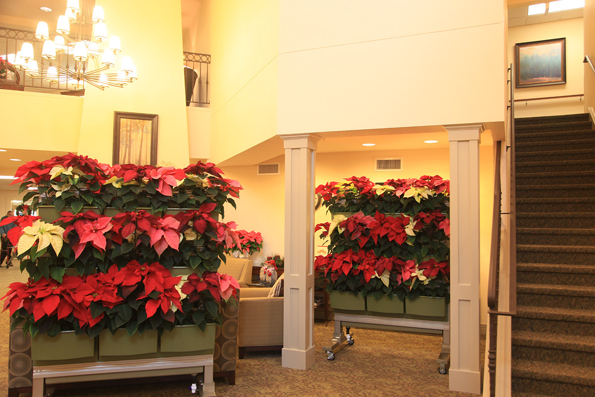 Indoor LiveScreen mobile green walls planted with poinsettias for Christmas cheer.