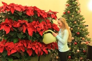 Poinsettias in Mobile Living Wall