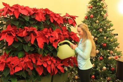 Woman hand-watering LiveScreen planted with poinsettia's for holiday season.