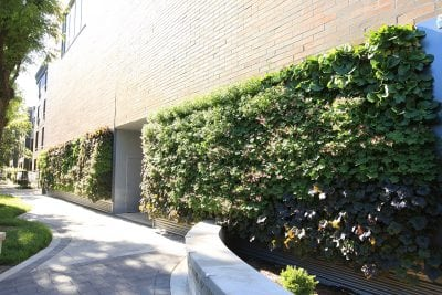 Green walls planted with perennials are easy in mild climates, with very few losses, even during winter. If well maintained, certain plant species can last for years.