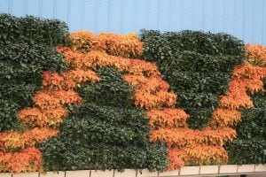 Zig Zag Wall with Coleus and Plectranthus