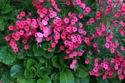 Brightly colored petchoa flowers pair well with rich green foliage of Bergenia.