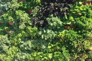 Vertical Garden of Herbs, Greens and Vegetables