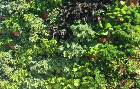 Herbs and Leafy Greens in Green Wall Planters