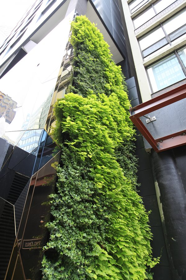 Trailing sweet potato vine and English ivy in living wall planters at Hotel EMC2 in Chicago, Illinois.