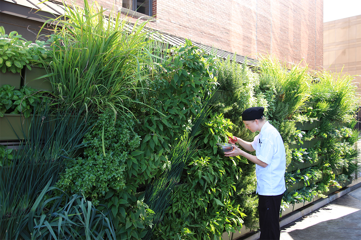 Pastry chef cuts fresh herbs from green wall at six.one.six restaurant in the JW Marriott.