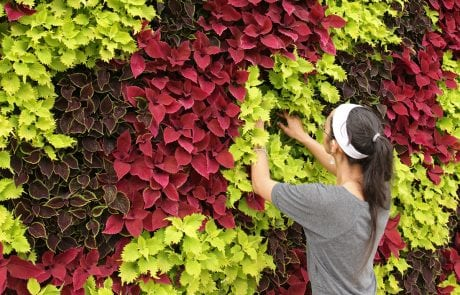 Coleus is a very strong green wall plant in the LiveWall system.