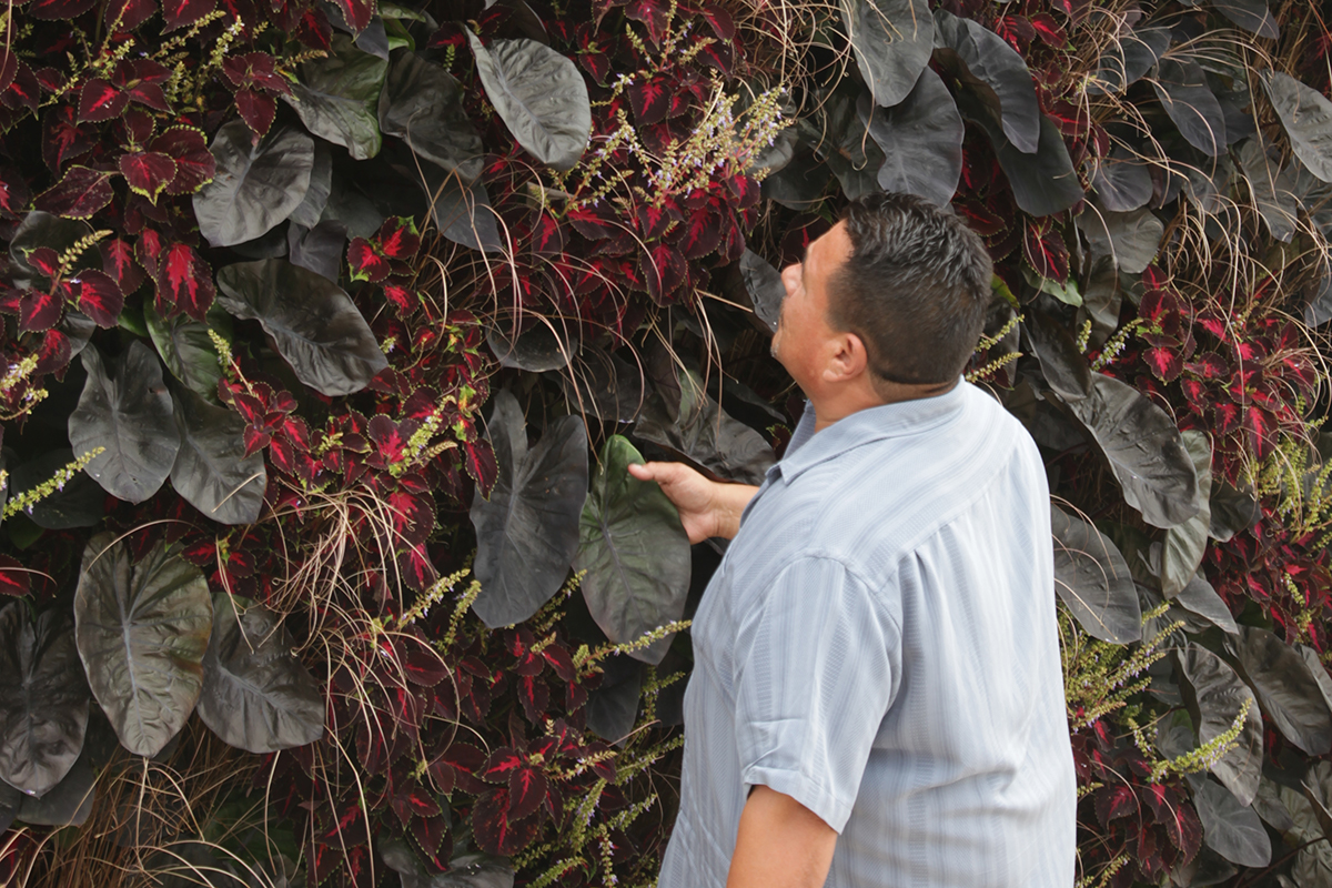 Dramatically Dark mixed annual planting in LiveWall system, using elephant ears, sedge, and coleus.