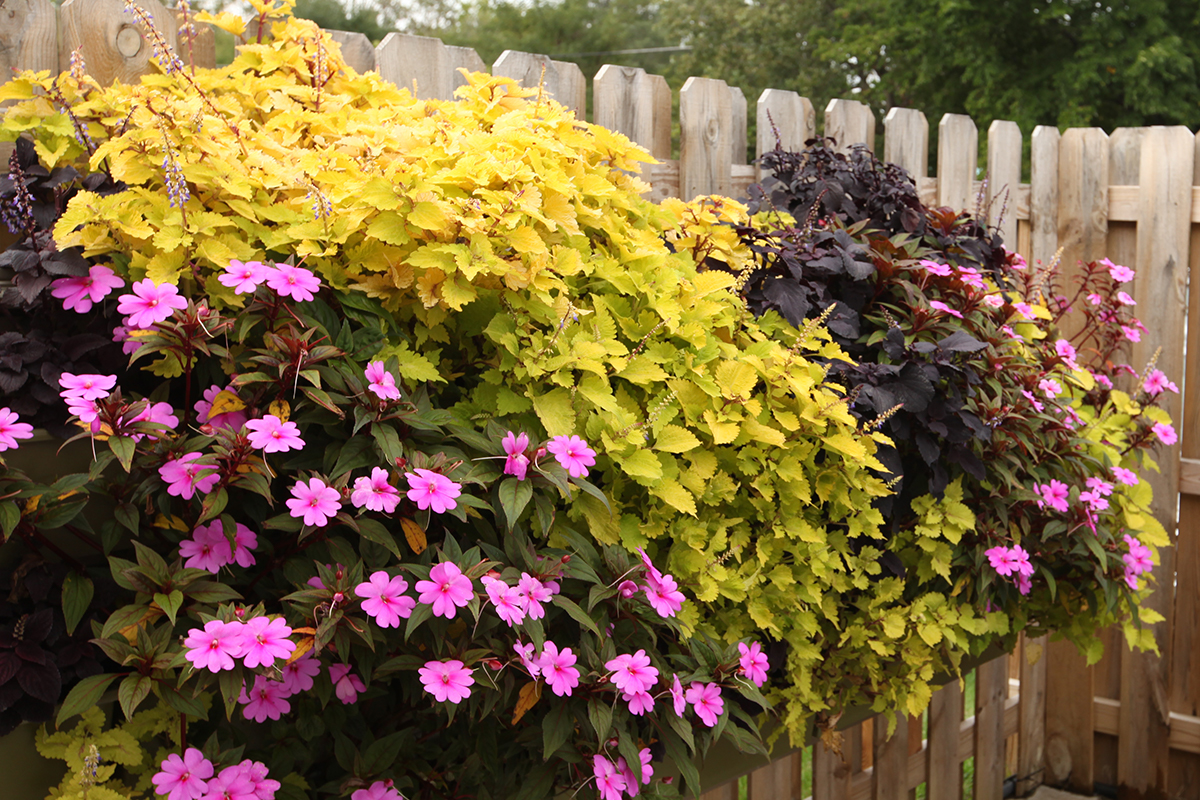 Green wall planted with coleus and SunPatiens