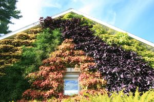 Garage Green Wall Planted with Coleus, Strobilanthes and Papyrus