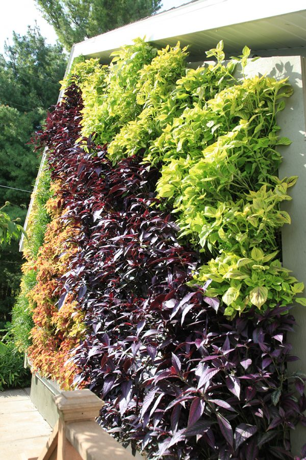 Residential green wall planted with persian shield, coleus, and papyrus.