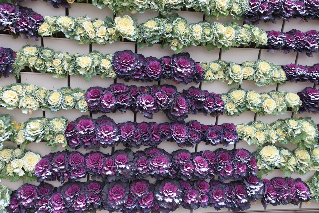 Colorful LiveWall with Ornamental Cabbage in November