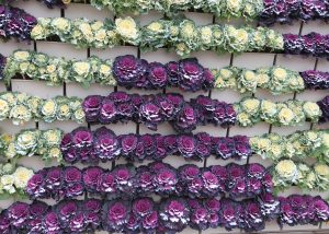Green and purple Cabbage in a living wall.