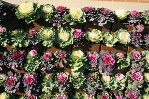 Ornamental Kale and Cabbage Green Wall