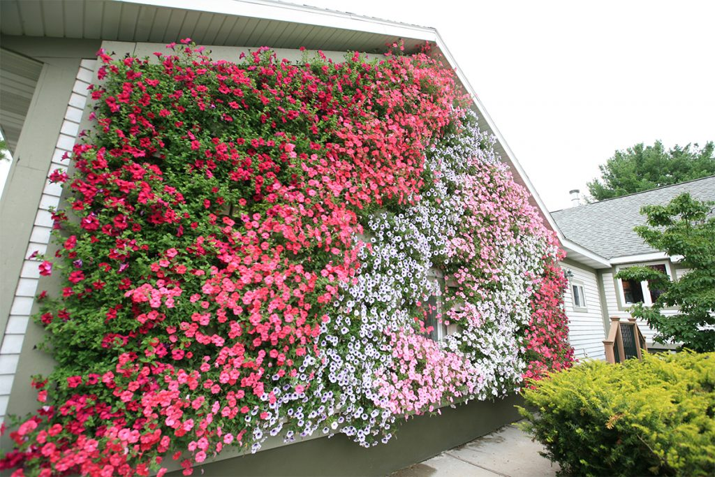 Colorful Petunias in a LiveWall