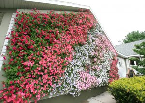 Petunias arranged diagonally on a residential project.